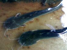 on sales 1000g + frozen catfish high quality