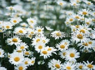 High quality apigenin chamomile flower extract