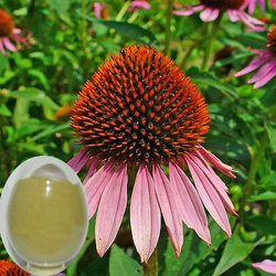 High purity echinacea purpurea extract with good quality and low price
