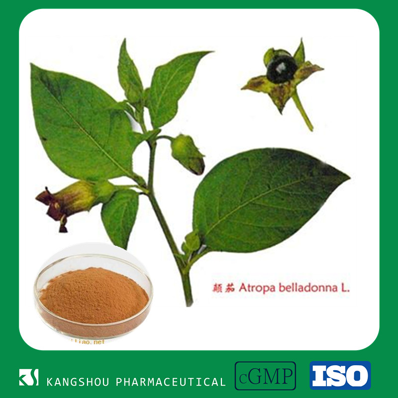 GMP Chinese herbal medicine Atropa Belladonna Extract Powder Hyoscyamine