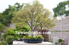 Taiwan Bonsai - deciduous tree
