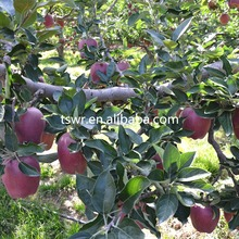 new crop huaniu apple red apple