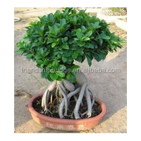 Varieties live Ficus microcarpa bonsai tree