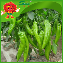 Fresh Green Chili Chile peppers best quality spicy