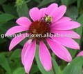 High-quality Echinacea Extract