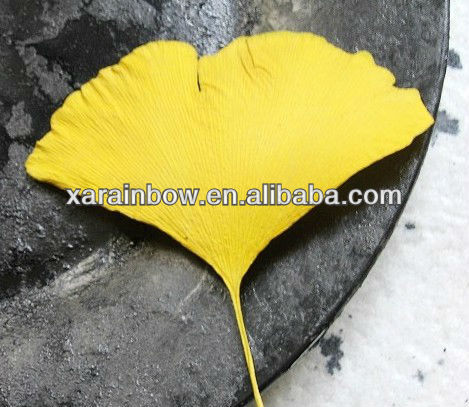 Organic yellow ginkgo leaf