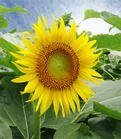 cheapest sunflower oil