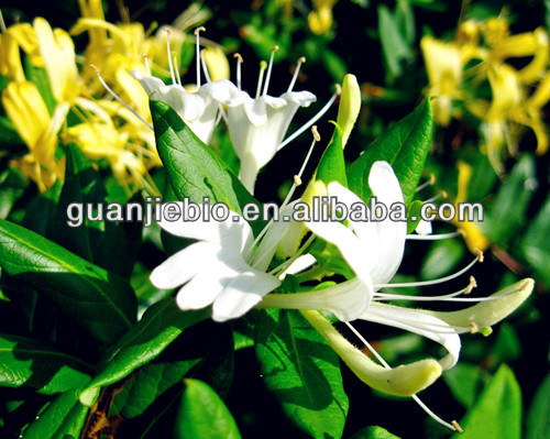 high quaility sale of HoneySuchle Flowers Extract