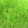 Good quality Zoysia japonica seeds used as turf grass seeds