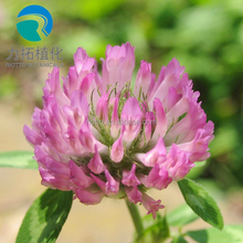 top quality Red clover extract powder,Trifolium pretense L extract,iso-flavones %