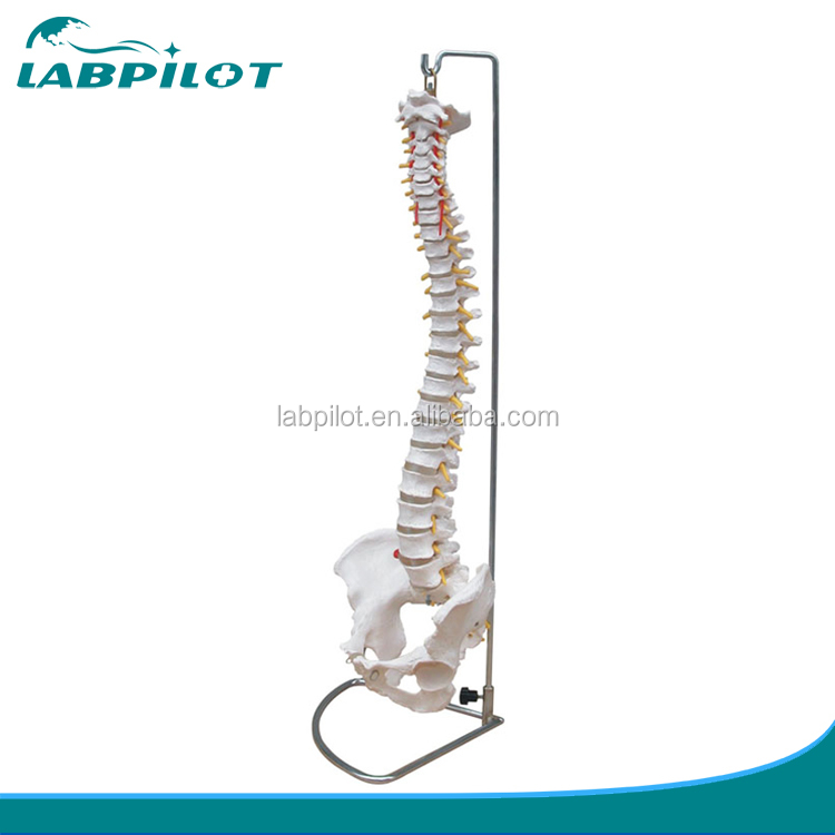 HOT Life-Size Vertebral Column with Pelvis Model,Vertebral Model, Spine Model