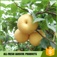 Delicious fresh fruit Fresh Fengshui Pear