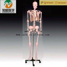 High Quality Human Skeleton Model Set