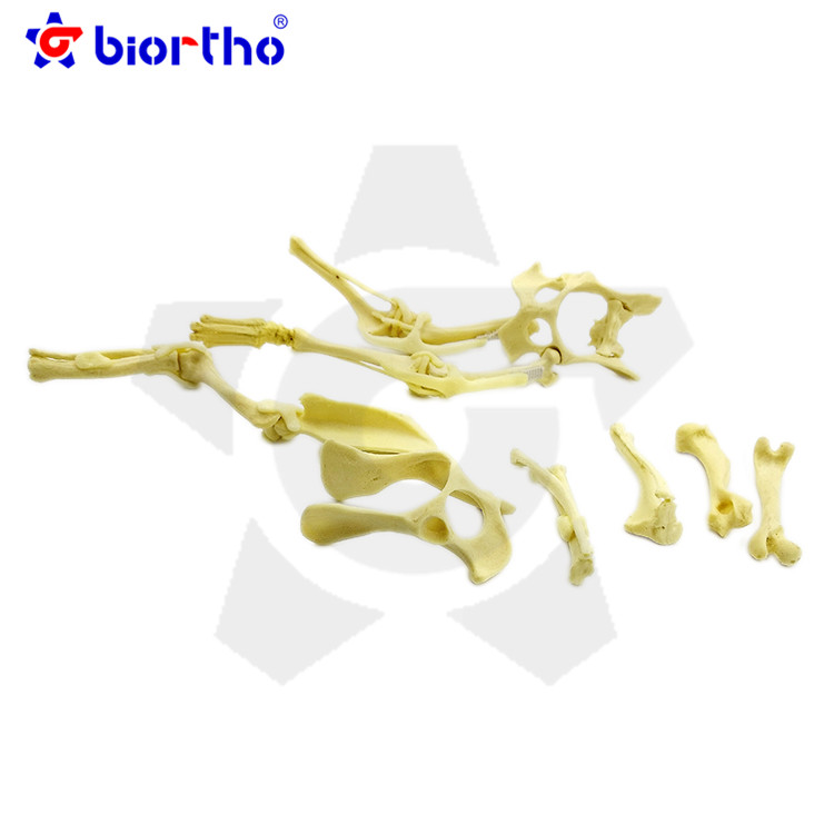Veterinary puppy bone Model orthopedic Instruments