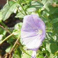 High Quality Convolvulus Extract