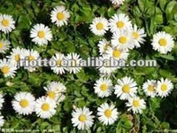 Pure natural chamomile extract liquid