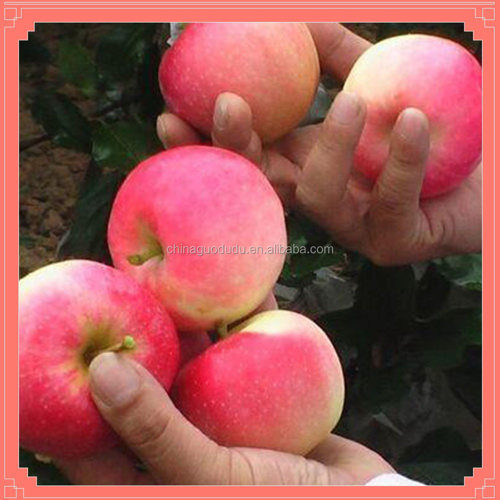Best price!!! Fresh red GALA APPLE FOR SALE