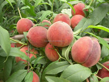 2016 High Quality Fruit Tree Seeds Big Sweet Peach Seed For Growing