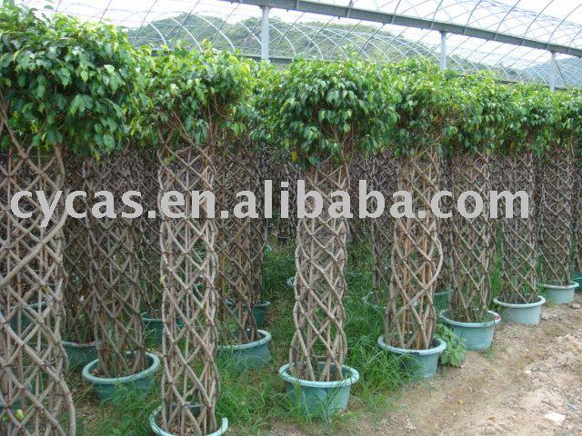 Ficus benjamina plantas en flor identificaci n del - Ficus benjamina precio ...