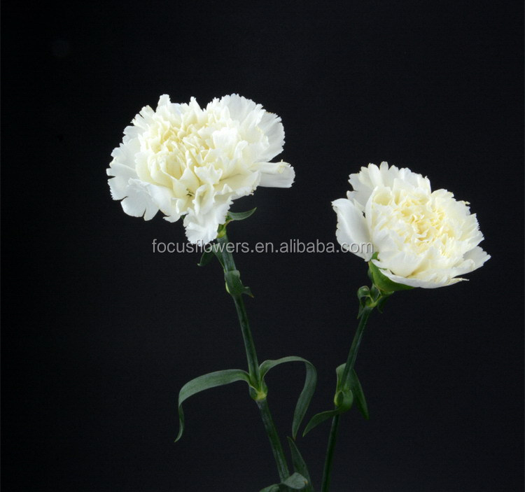 Fashion hot-sale carnation for florist supplies