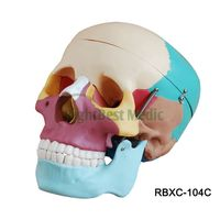 Colored Life-Size Skull Model human Skull Separation Model for medical teaching