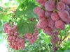 2015 new crop fresh seedless grape red globe grapes from china
