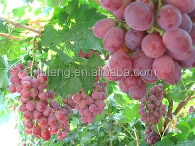 New crop fresh seedless grape red globe grapes from china