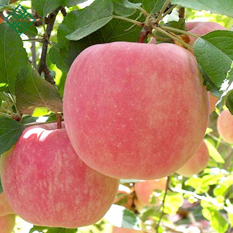High quality apple type fruit bulk red fuji apple