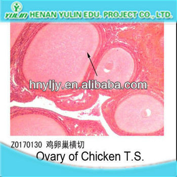 Ovary of Chicken T.S. teaching learncing Senior high schools hemical lab supplier zoology microscope slides