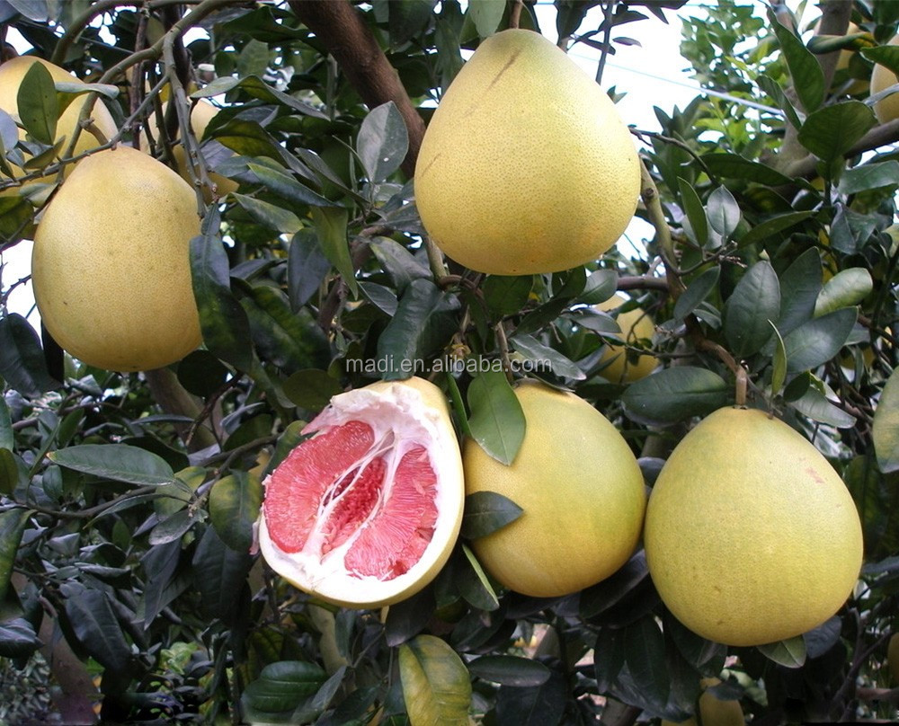 Supply fresh Citrus Fruit, fresh honey Pomelo with best price