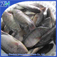 Frozen black tilapia GS