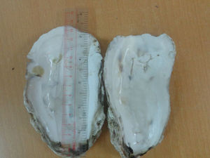 cleaned Oyster Shell