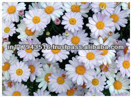 Chamomile Essence Oil For Fragrance