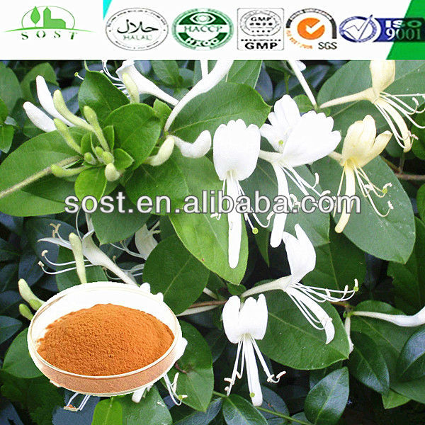 GMP certificated flos lonicerae extract