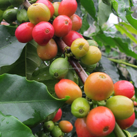 arabica green coffee beans high quality coffee material for green coffee bean extract