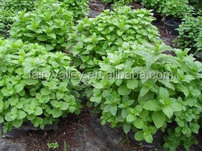 Authentic Lemon Balm seeds Melissa Officinalis seeds for planting and sale