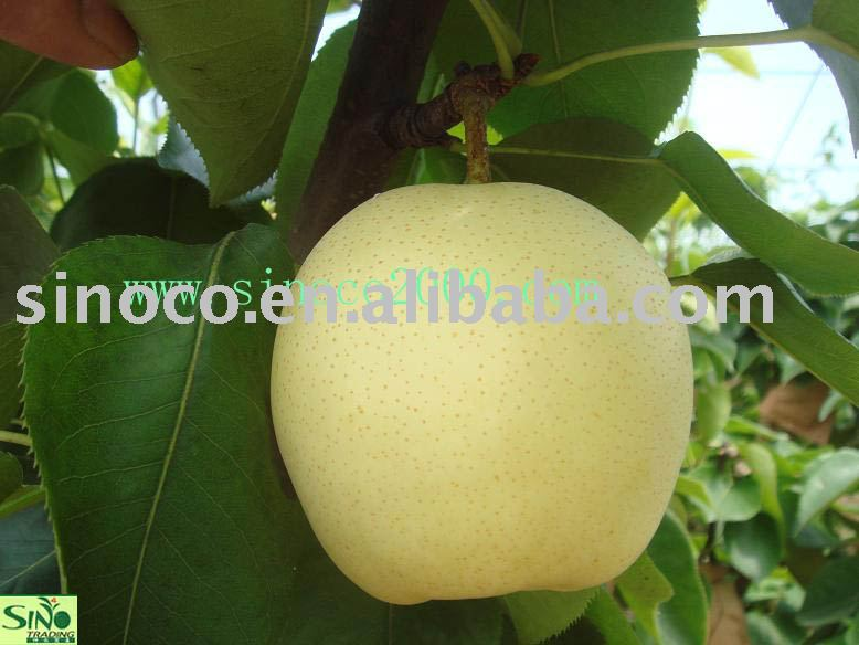 Apple Pears From China