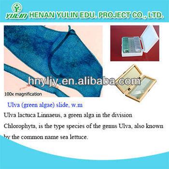Ulva Slide Microbiology Mi...
