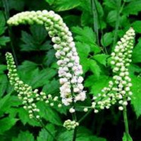 Wholesale Black Cohosh Powder Extract/Water-Soluble Black Cohosh Powder/Triterpenoides Saponis 2.5%