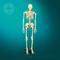 Silicone new product Human skeleton foot model sex dolls full skeleton silicone model