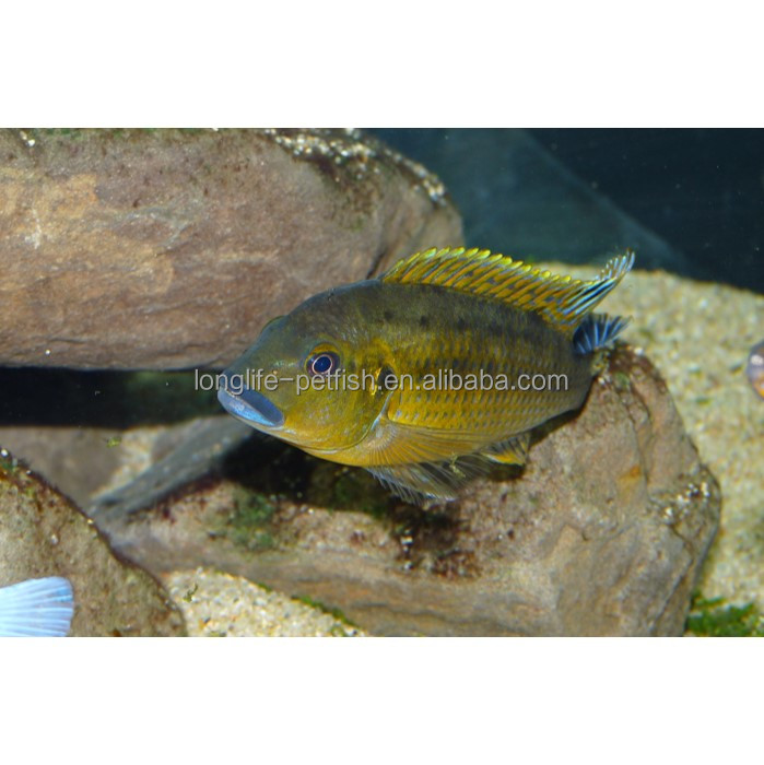 Rare African Cichlids Pseudotropheus sp. Williamsi North For Sale Online