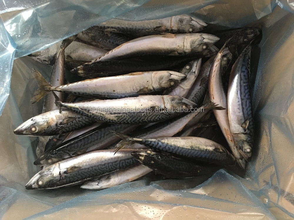 Fish Product Type and Mackerel Variety Pacific Mackerel Fish