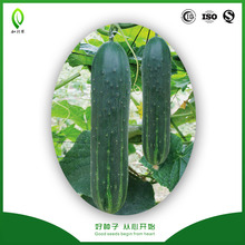 High temperature tolerance Chinese cucumber cuke seeds