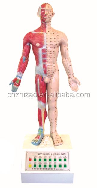 university 14 acupoints and meridians speech electric human acupuncture model