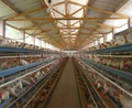 low cost controlled chicken egg poultry farm