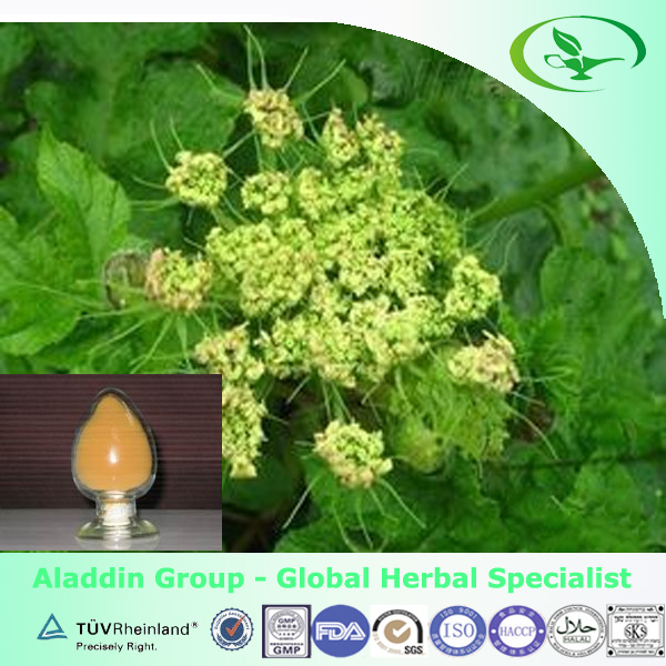 natural plant extract Doubleteeth Angelica