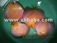Discus Fish Eruption