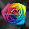 Professional flower seed company wholesale rainbow rose seeds
