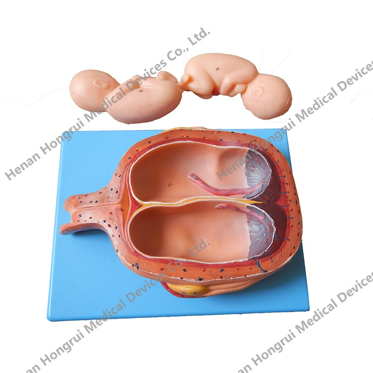 High Quality Human Gestation Embryonic Development Anatomical Model