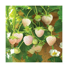 The Rare White Strawberry Seeds Pineapple Strawberry Seeds Potted Four Seasons Sowing